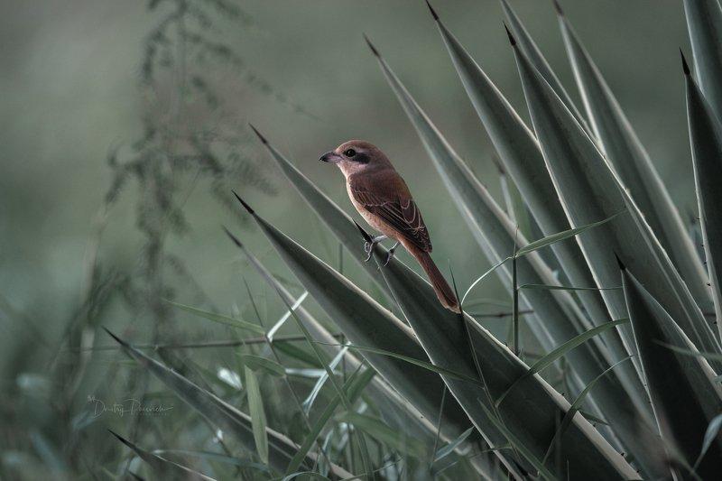 природа, животные, птицы, вьетнам, остров фукок Колючие будниphoto preview