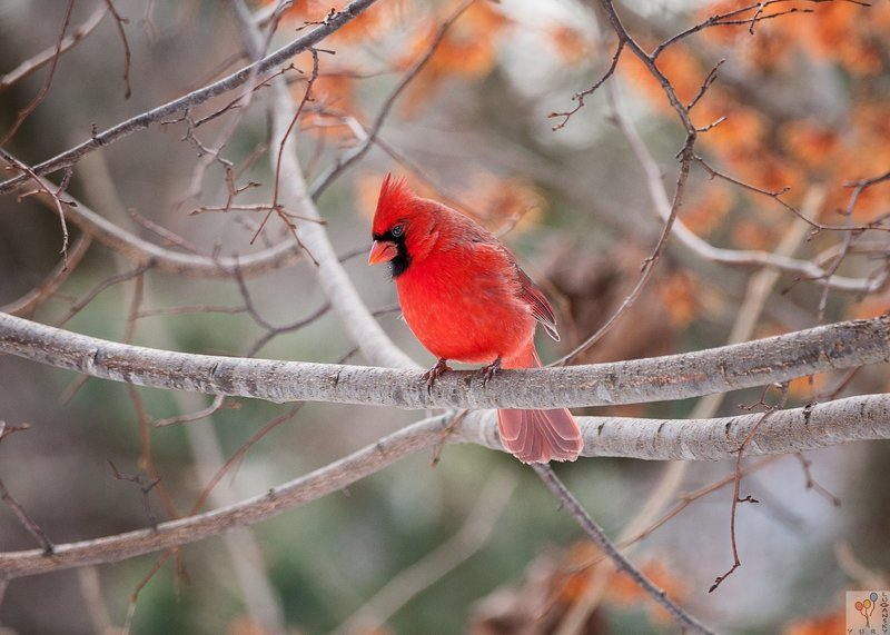 Northern Cardinal (mail)photo preview