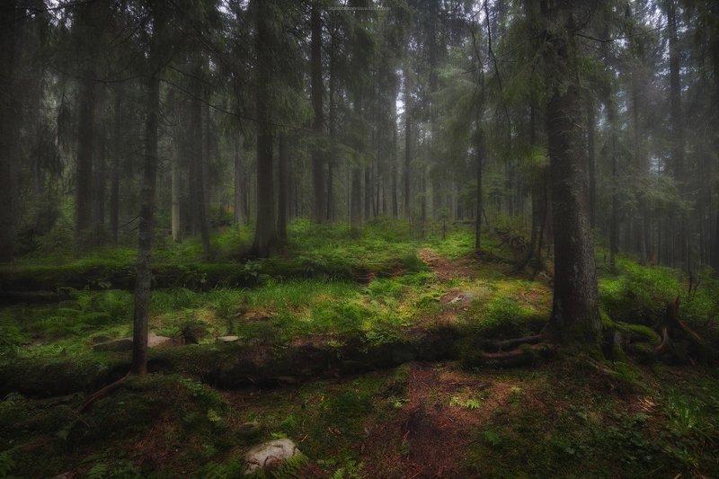 горы, карпаты, тропа, мох, деревья, лес, природа, туман После грозыphoto preview