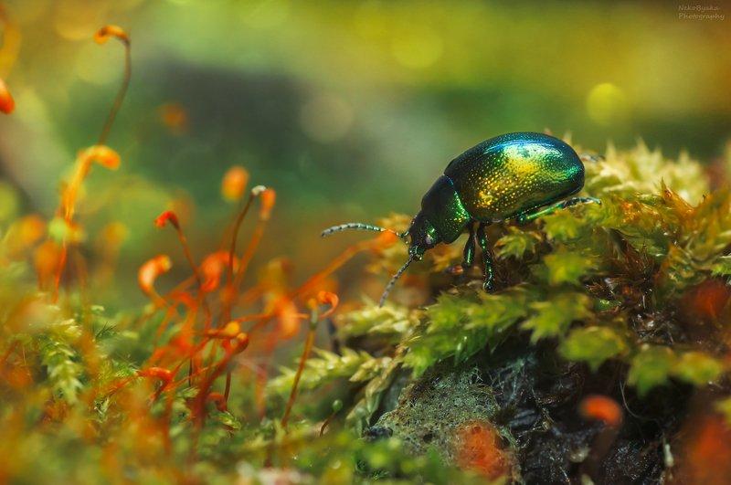 макро, природа, мох, жук, насекомые, боке, листоед, macro, nature, moss, beetle, insects, bokeh, leaf beetle, Листоед мятный зеленыйphoto preview