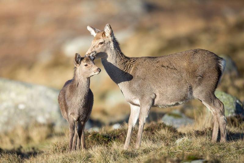 Sika deer. Irelandphoto preview