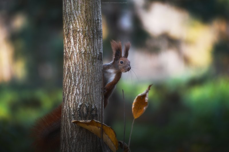 белка, животные, природа, осень, любопытство photo preview