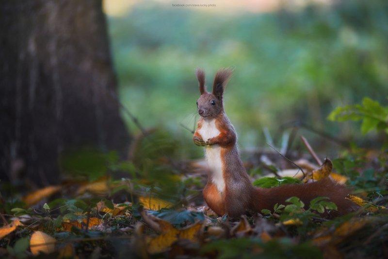 белка, лес, листья, осень photo preview