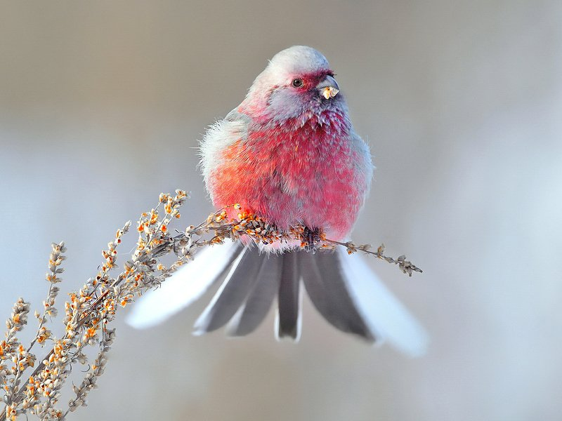 природа, фотоохота,  птицы, животные, зима, урагус, длиннохвостый снегирь На зимнем лугуphoto preview