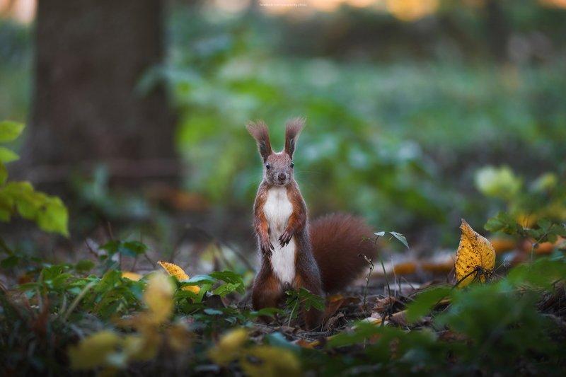 белка, осень, листья, взгляд, любопытство, природа photo preview