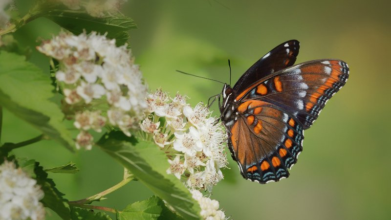 Red-Spotted Purple ( Limenitis arthemis astyanax)photo preview