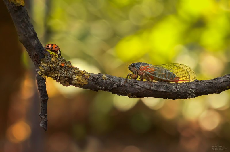 макро, природа, насекомые, цикада, божья коровка, боке \