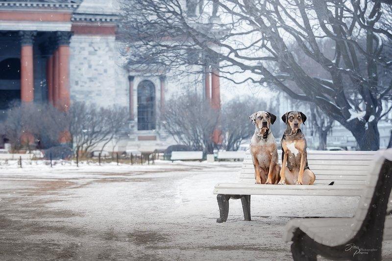 Катахулы или Луизианские Леопардовые Собакиphoto preview