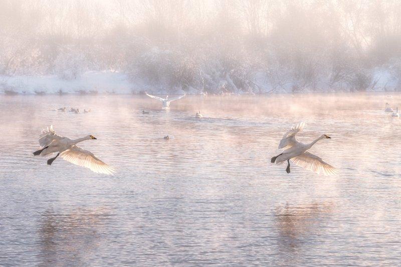 Лебеди, Озеро, Озеро Светлое, Алтайский край Лебединый райphoto preview