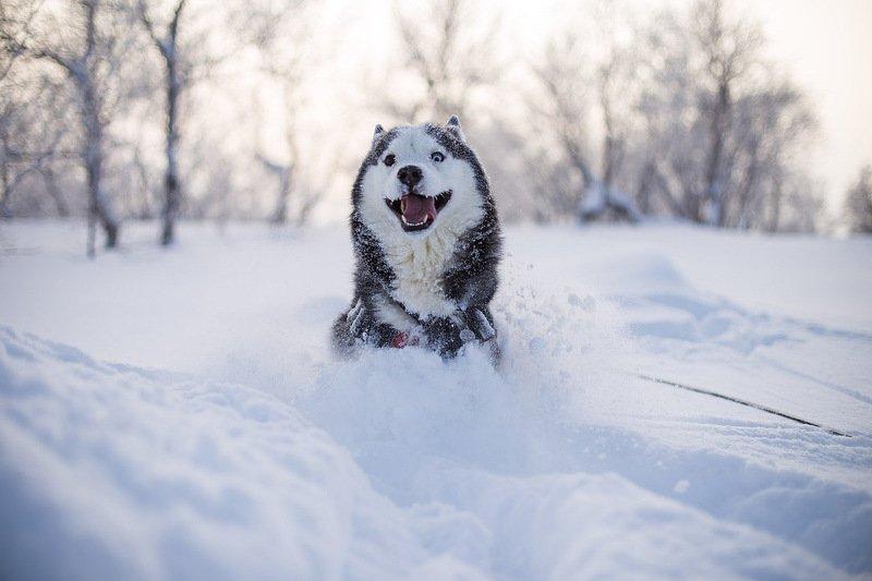 собака, снег, winter, dog, animals, север, кольский край, солнце, мороз «Зимняя радость»photo preview