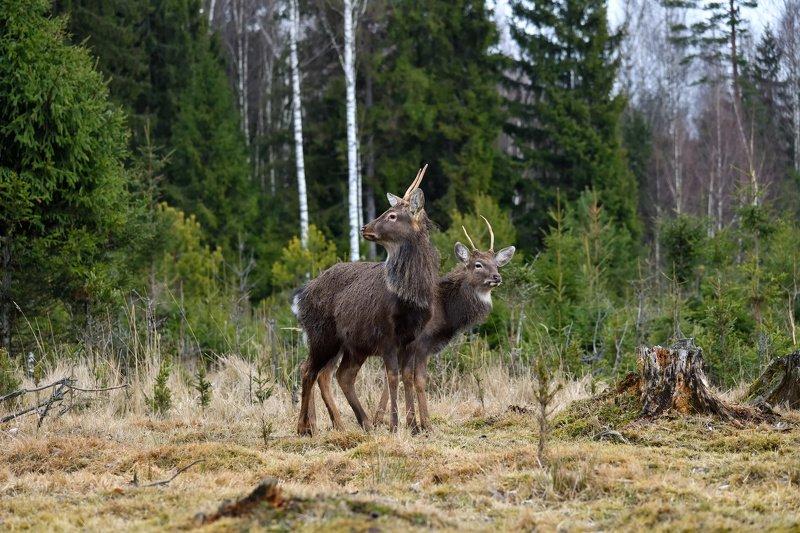зима,январь,лес,олени любопытныеphoto preview