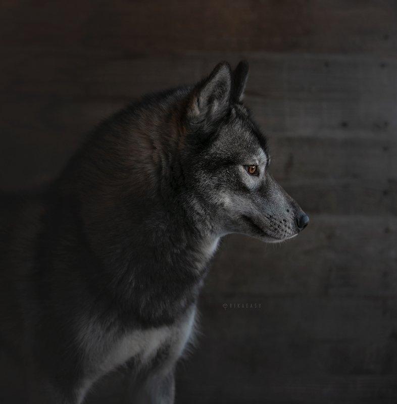 хаски, husky photo preview