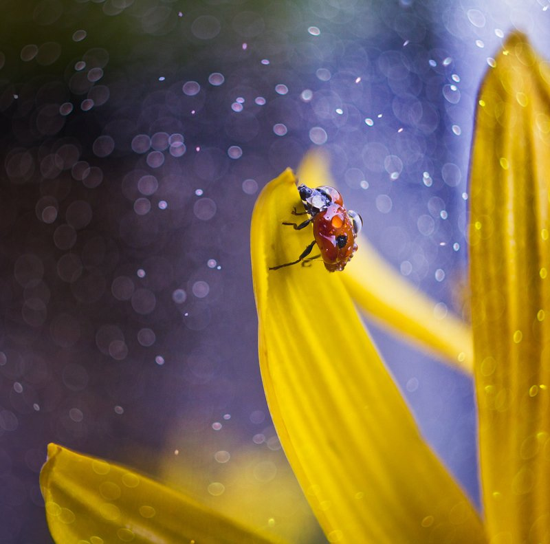 коровка, осень, желтый, цветок, брызги, макро, капли, насекомое, macro Осенняя коровкаphoto preview