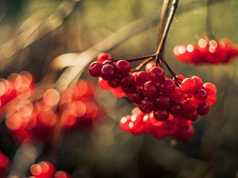 калина боке ягоды блик радуга осень солнце Калинкаphoto preview