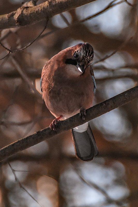 птицы,природа,зима Сойка строит глазкиphoto preview