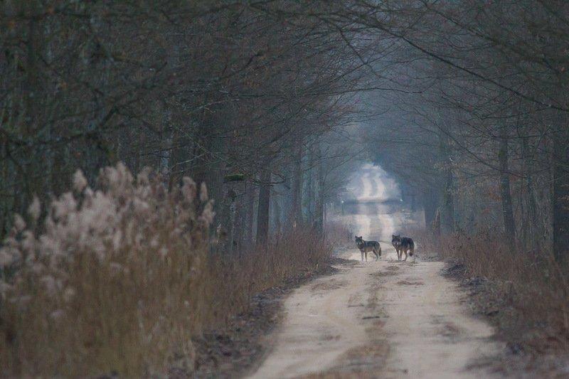 las,ssaki,zwierzęta,przyroda,wilki Wilkiphoto preview