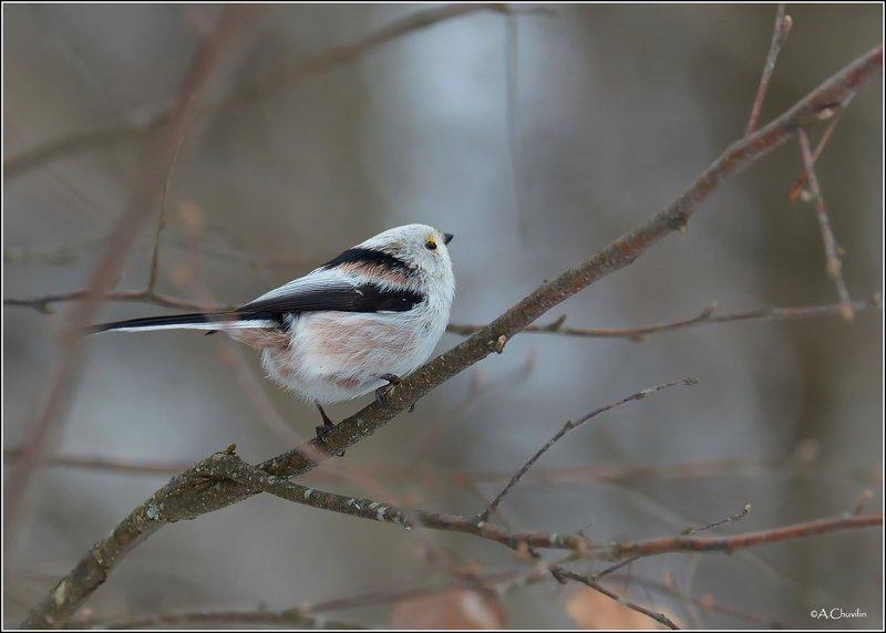 птица,ополовник Ополовничекphoto preview