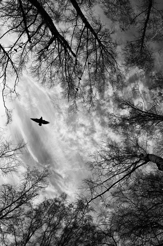 природа, небо, деревья, птицы, облака, черно-белое, настроение, атмосфера, чб Настроениеphoto preview