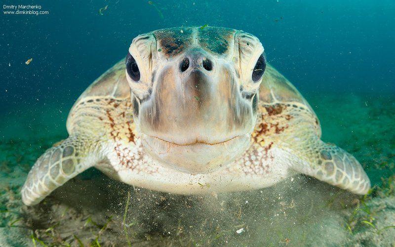 черепаха, зеленая черепаха,turtle Ем как...photo preview