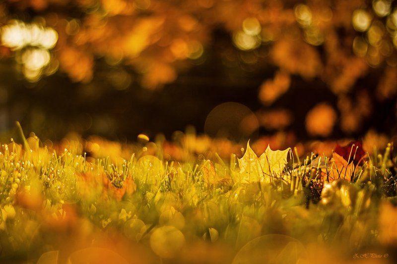 morning, , , , , bokeh, , , , , golden, , , , , leaf, , , , , maple, , , , , honey Morning, like honey for my soulphoto preview