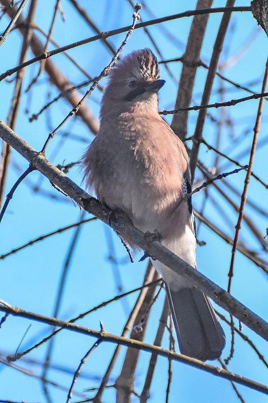 птицы,природа,зима Сойка строит ирокез))photo preview