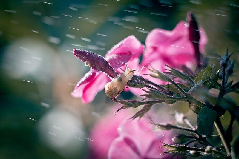 улитка, макро, боке, брызги, вода, закат, солнце, трава, сказка, цветок, розовый, любопытство, лето, macro Про улитку в розовых цветахphoto preview