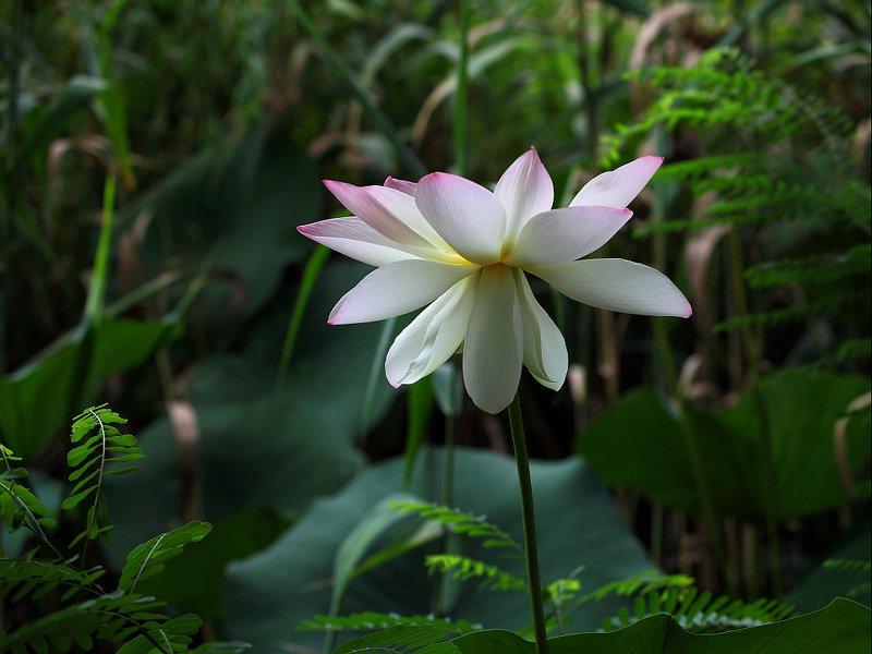 Цветок лотосаphoto preview