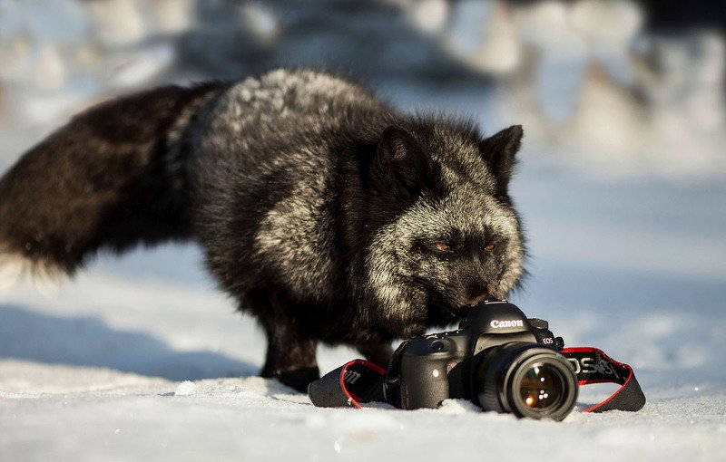 лисица,чернобурая,дикая,зима,фотоаппарат, foxy, beautiful, photo camera, photographer Дикий фотографphoto preview