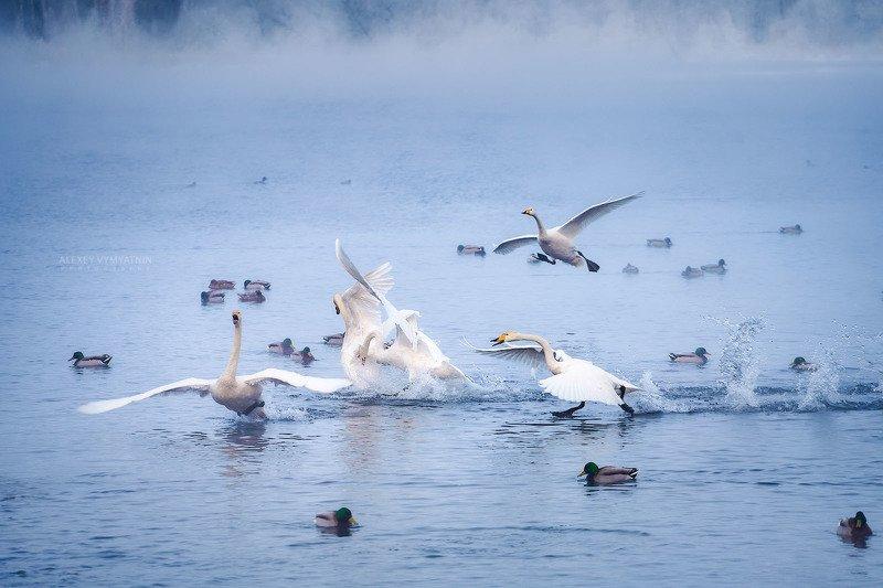 алтай, озеро, зима, лебеди Утренний переполох фото превью