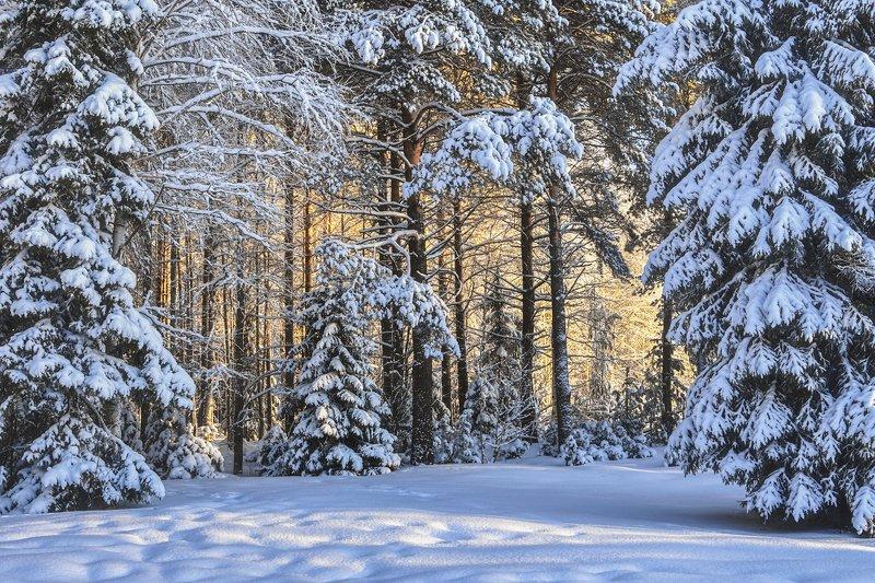 зима, снег, солнце, иней, лес, деревья, елки, сосны Солнечный лесphoto preview