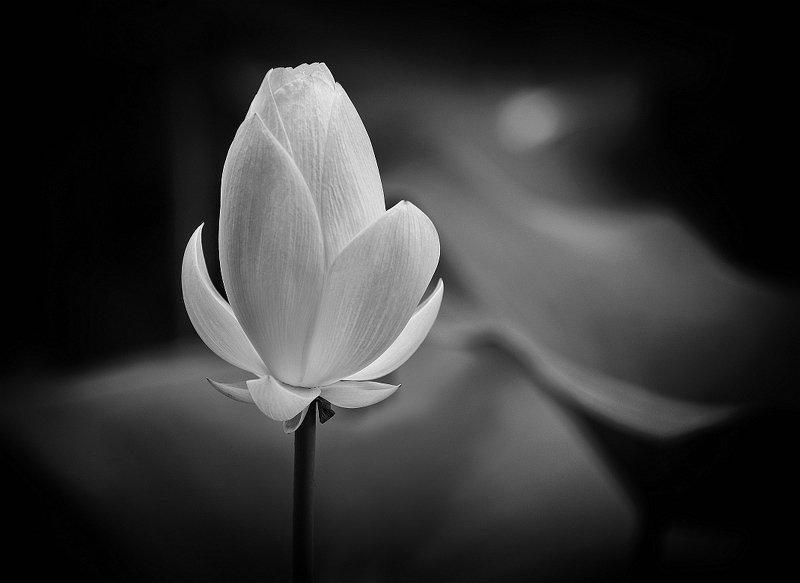 Lotus Flowerphoto preview