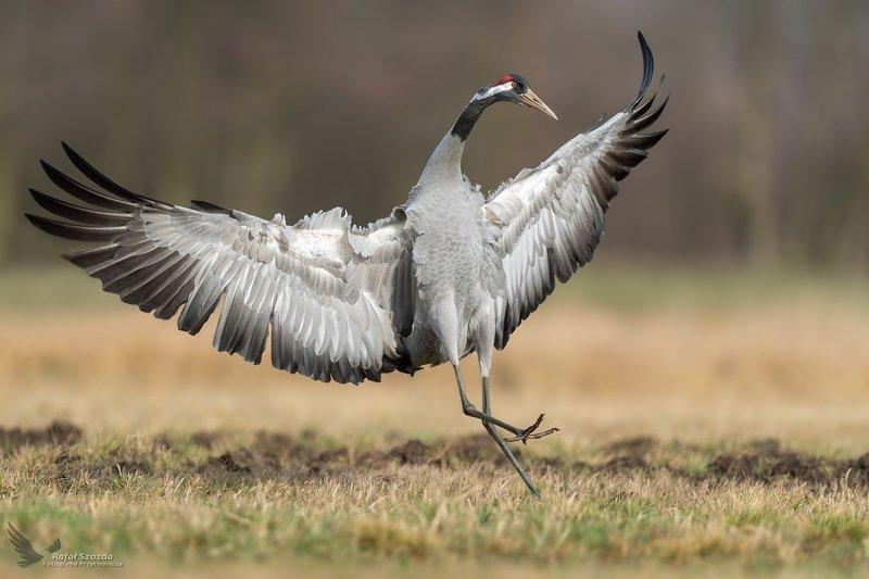 Motylem byłem ... Żuraw, Common Crane (Grus grus) ... 2020r