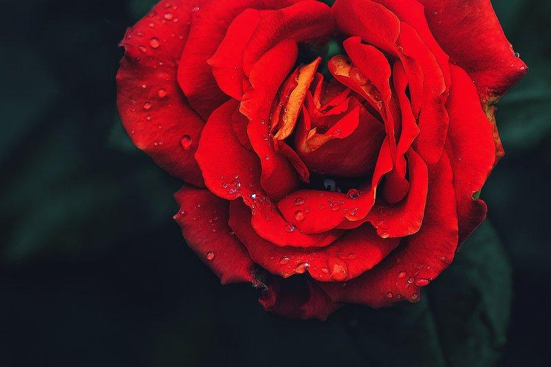 red,rose, роза,красный photo preview