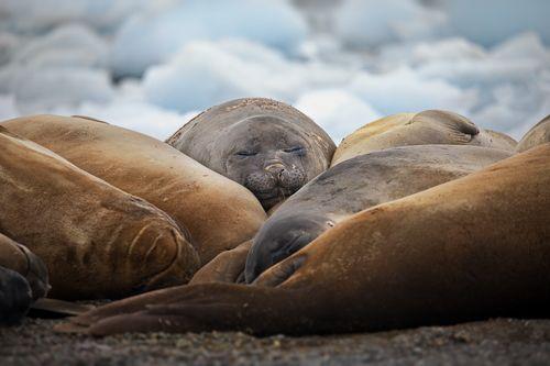 Тюленьи будни