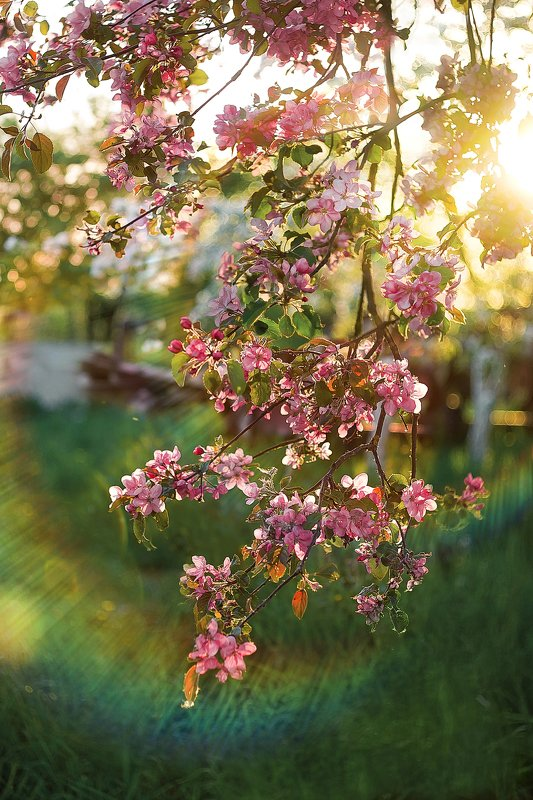 apple,appletree, flower, flowers,light,sun, солнце, лучи,яблоня,цветы Apple flowersphoto preview