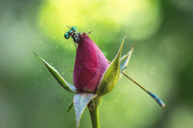 макро, природа, цветы, розы, насекомые, стрекоза, боке, macro, nature, flowers, roses, insects, dragonfly, bokeh, \