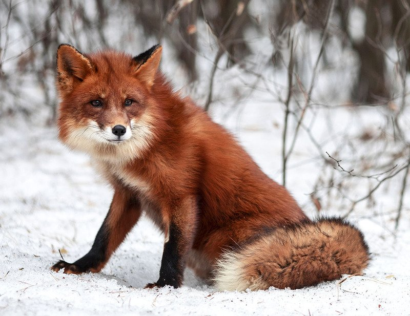 Лиса,животные,красота,зима,природа Хитрый Лисphoto preview