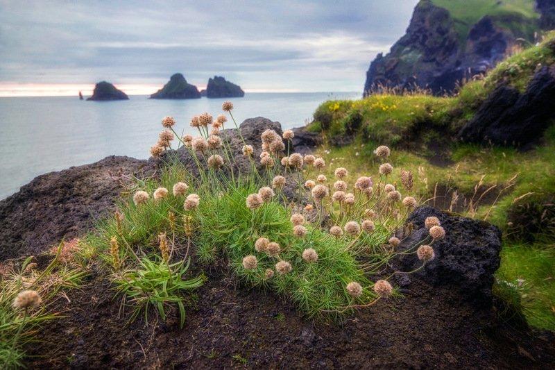 исландия,iceland Армерия приморскаяphoto preview