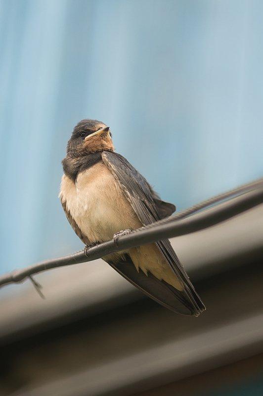 sparrow, bird, birds, wild bird, ласточки, птицы, дикие птицы Ласточкиphoto preview