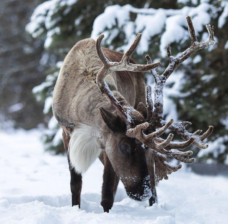 Олень, животное, красавец,зима,природа Красавец Оленьphoto preview