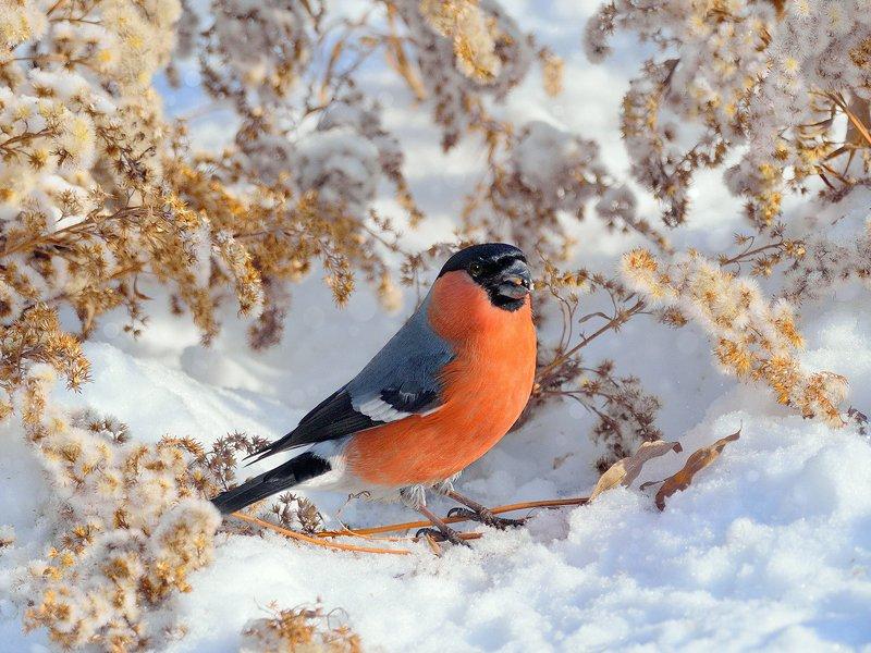 природа, фотоохота,  птицы, животные, зима, снегирь На зимнем лугуphoto preview