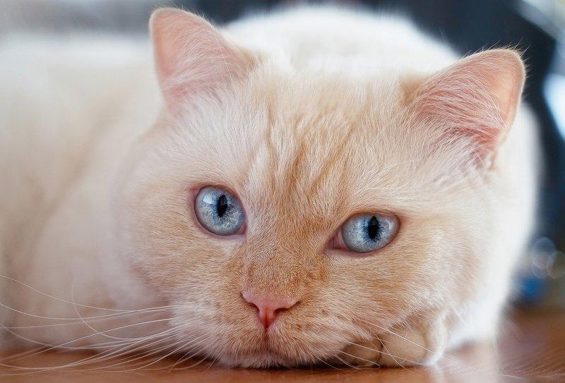 cat,british,cute,white , кот, британец, животные, минск, беларусь, снег, зима, snow, winter photo preview