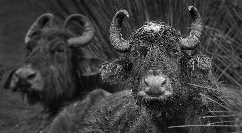 портрет буйволаphoto preview