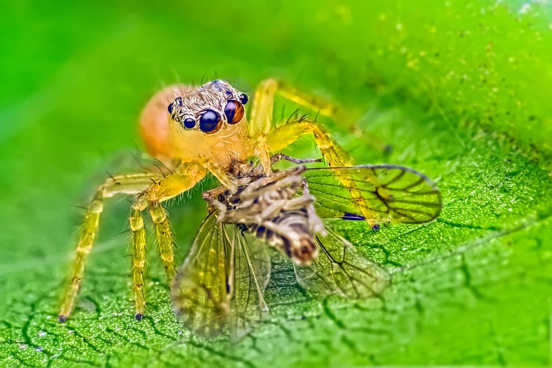 Spider, Jumping, eating, prey, yellow, green, eyes, beautiful, small, macro, close up, wildlife, animals, Jumping spider eating preyphoto preview