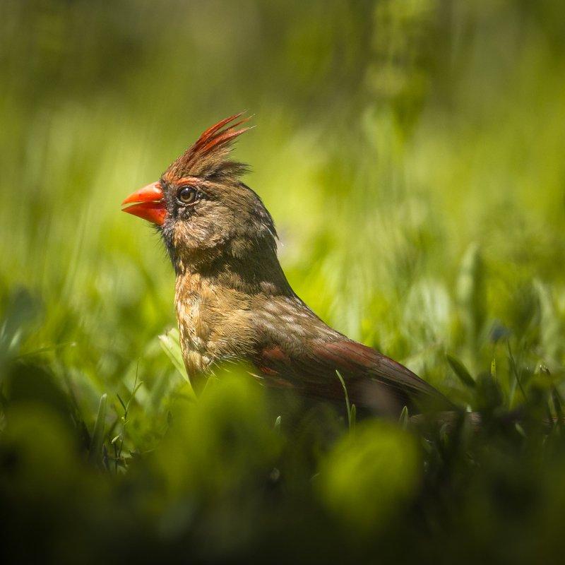 Northern cardinalphoto preview