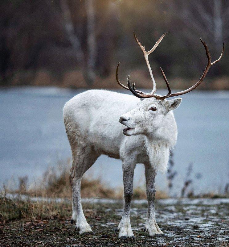 Олень,белый,северный,сказка,зима Сказочный Оленьphoto preview