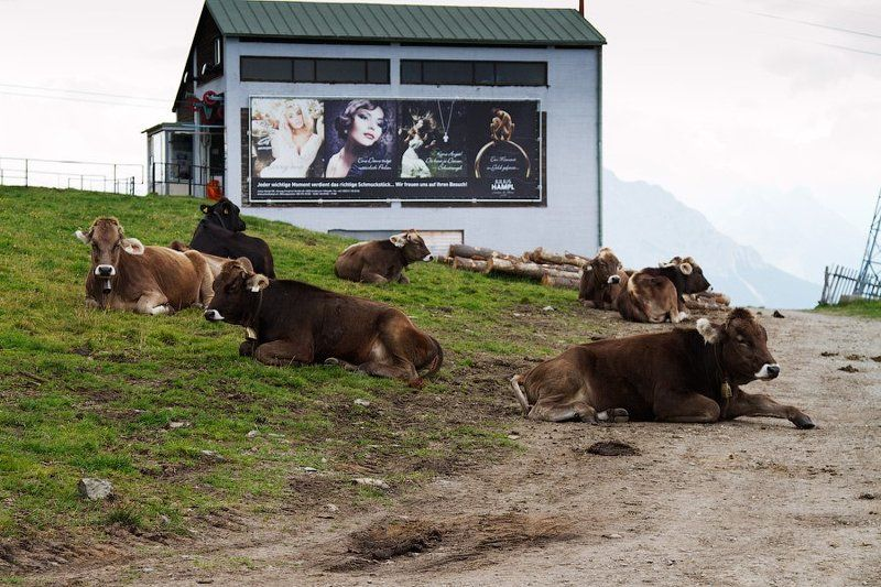 чем корова не модЕльphoto preview