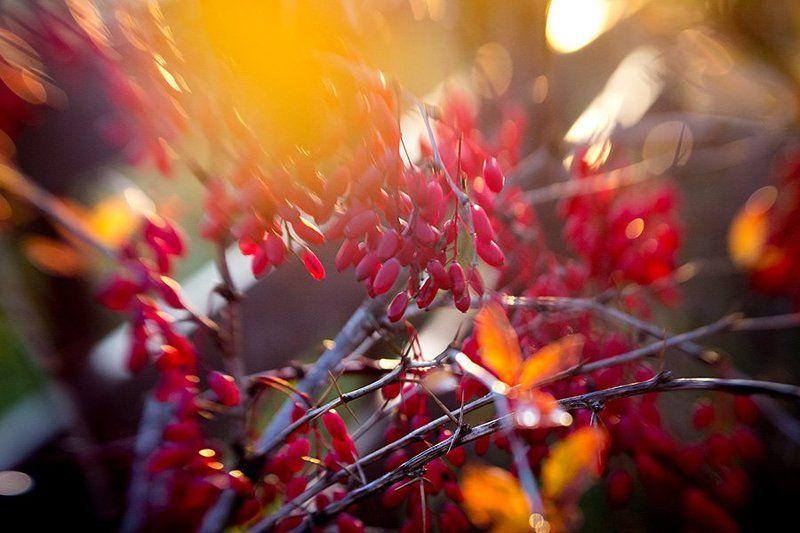 природа, красота, краски, барбарис, осень Яркие краскиphoto preview