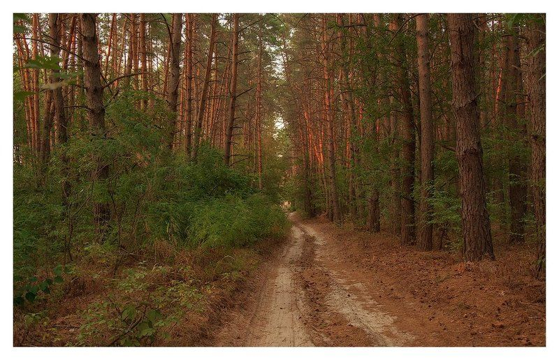осень, лес, тропинка, сосны *лесными тропинками осень гуляет*photo preview