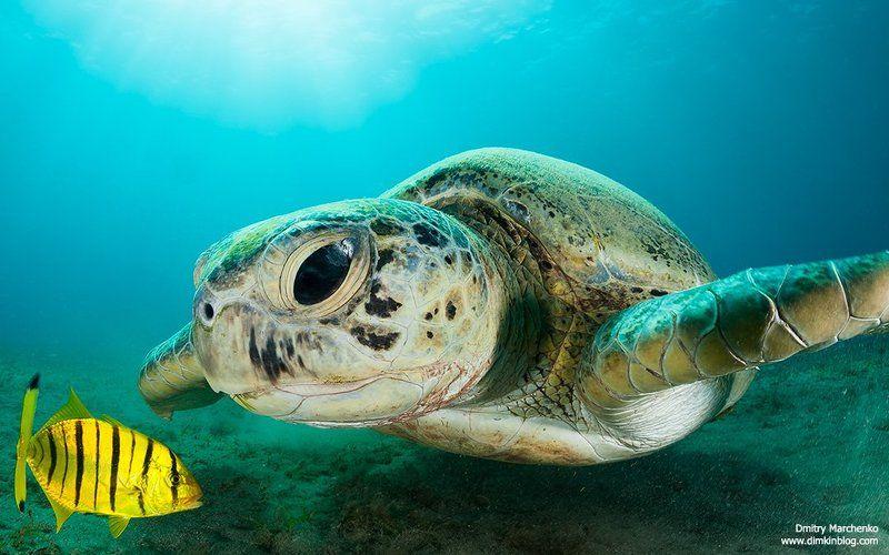 turtle,green turtle,черепаха ***photo preview